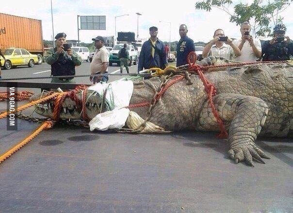 Biggest crocodile caught?