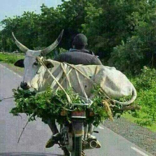 Cow on Bike